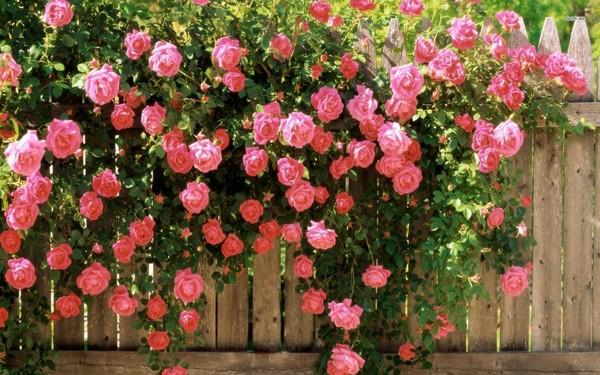 Ba giống hoa hồng đẹp tại nhà vườn khánh võ.