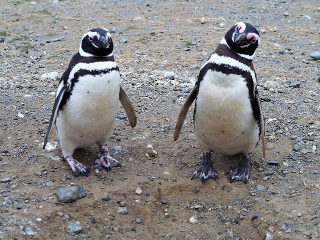 Pinguine Isla Magdalena