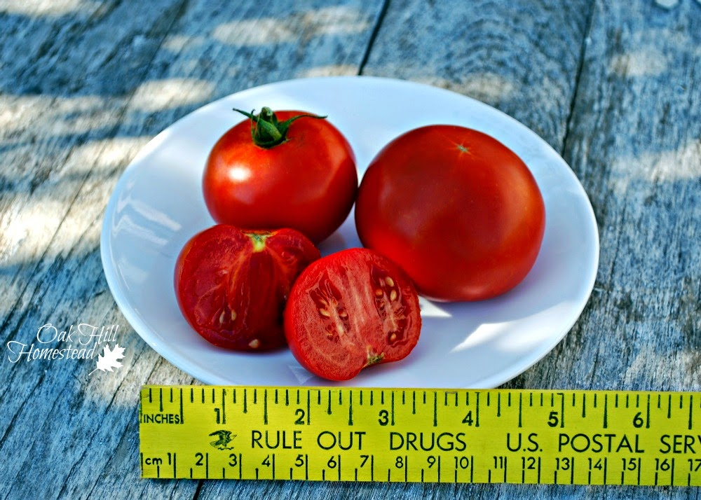 "This is the ""homestead"" variety of tomato. Here's how it compares to the other varieties growing in my garden this year."