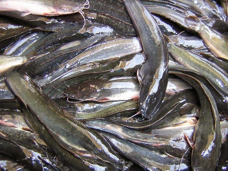 Gambar cara ternak ikan lele dengan Kotoran Hewan