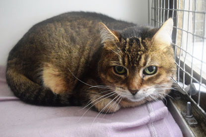 Older cat Holly from Cats Protection's Dereham Adoption Centre