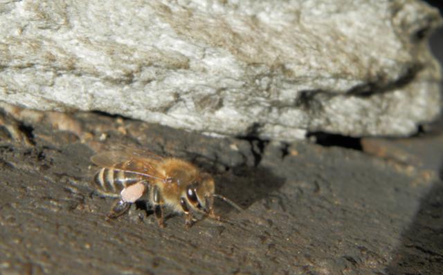 Ερώτηση μελισσοκόμου: Απο πιο φυτό παίρνουν ροζ γύρη;