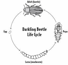 Siklus Hidup Kumbang