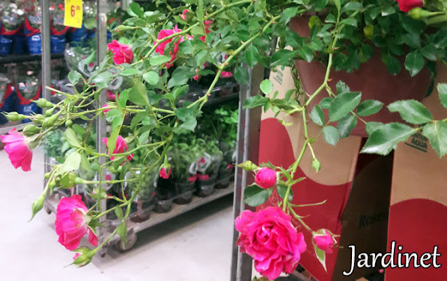 Roseira pendente - leroy merlin