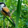 Cara Mengatasi Burung Cendet Yang Berkicau Di Tempat Sepi Saja