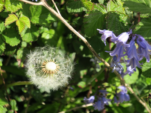 Dandelion Clock and Non-Native Bluebells