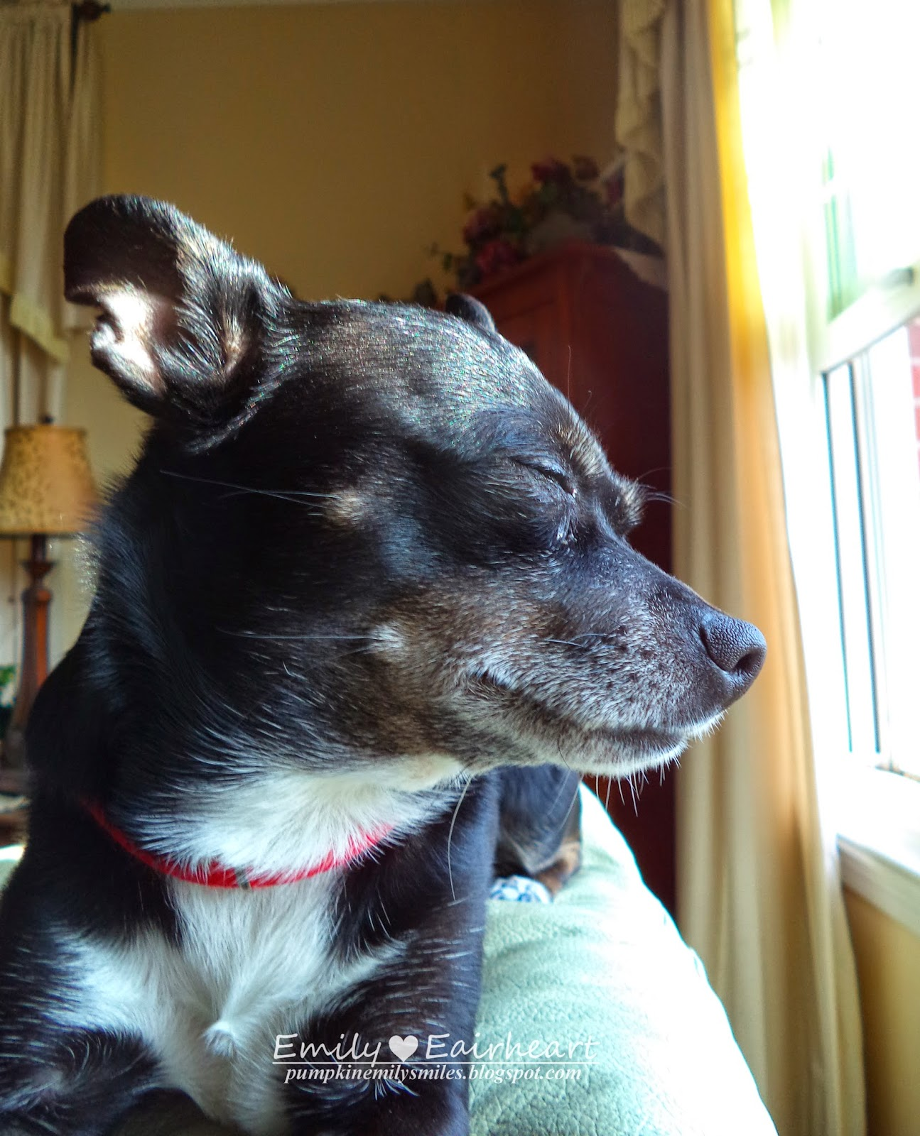 Minnie, Chihuahua, not looking at the camera and closing her eyes.