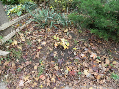 The Annex Front Garden Fall Cleanup before by Paul Jung Toronto Gardening Services