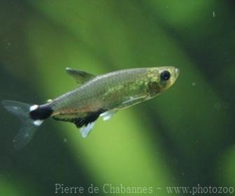 Dawn Tetra Fish, Aphyocharax paraguayensis