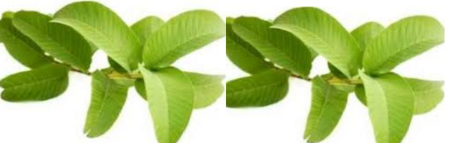 Home remedies for sebaceous cyst removal - Guava Leaves