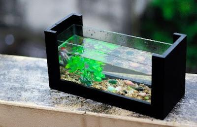 Aquarium Ikan Cupang Cantik