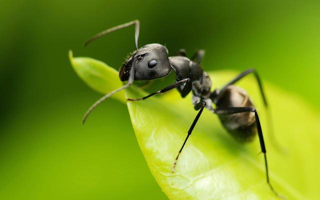 Formiga Sonhadora