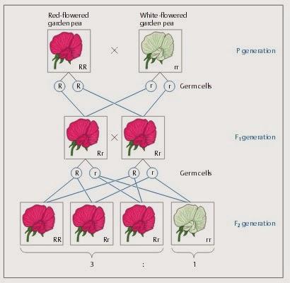 Persilangan Antara Tanaman Bunga Mawar Berwarna Merah Mawar Ku