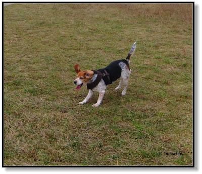 lustiger Beagle
