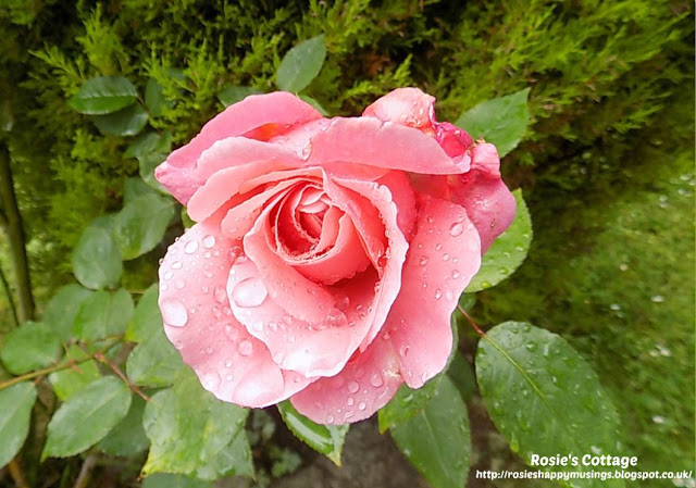 Raindrops On Our Beautiful Rose