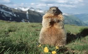 olio di marmotta