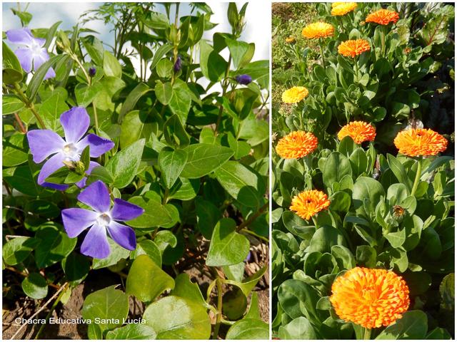 Plantas de floración de invierno: vinca y caléndulas - Chacra Educativa Santa Lucía