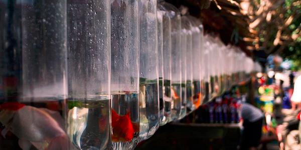Peluang Usaha Budidaya Ikan Hias - Budidaya Ikan