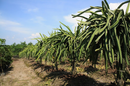 Lowongan Tukang Kebun Buah-Buahan PT. Hok Seng Ciptajaya