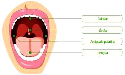 Dibujo de la boca y sus partes para niños