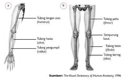 Tulang penyusun anggota gerak bagian atas dan bagian bawah