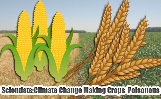 Scientists:Climate Change Making Crops Poisonous