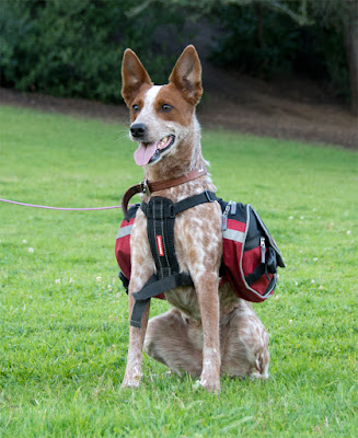 Queensland heeler wearing EzyDog's Summit backpack