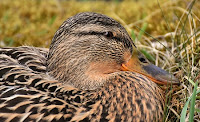 kandang bebek petelur, kandang bebek petelur kapasitas 1000 ekor, cara buat kandang bebek petelur, bebek petelur, bebek, cara buat kandang bebek
