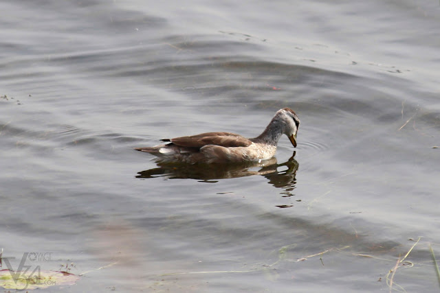 Cotton pygmy-goose female