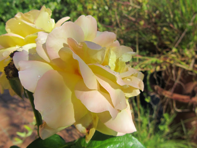 Rosa bianca con sfumature giallo