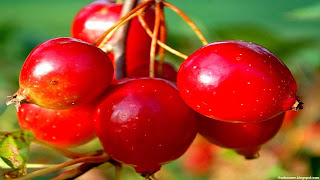 Hawthorn fruit images wallpaper
