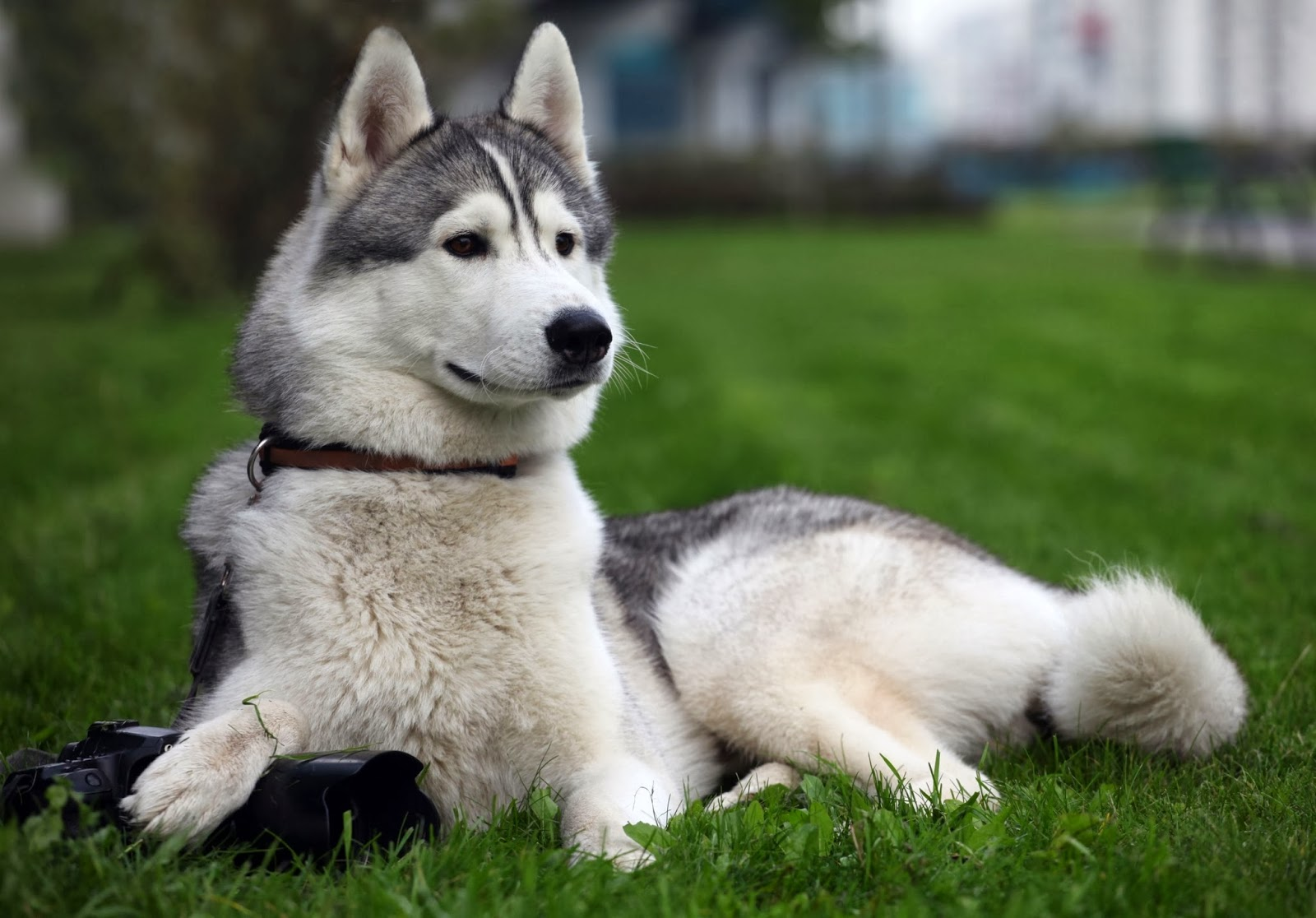 Images Of Husky Dogs: Wild Life World
