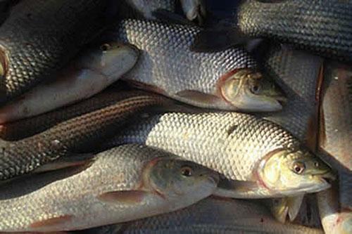 Producción de pescado en Tarija, mueve Bs. 5 millones al año