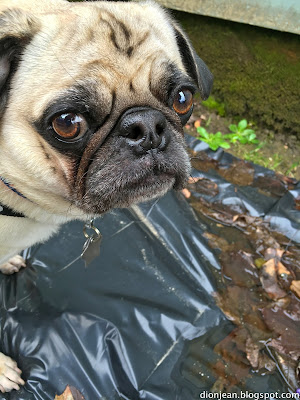 Liam the pug is thinking about drinking from a puddle