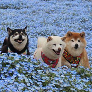Shiba Inu Dog Breed