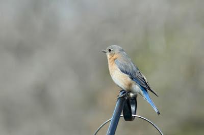 female bluebird, early April