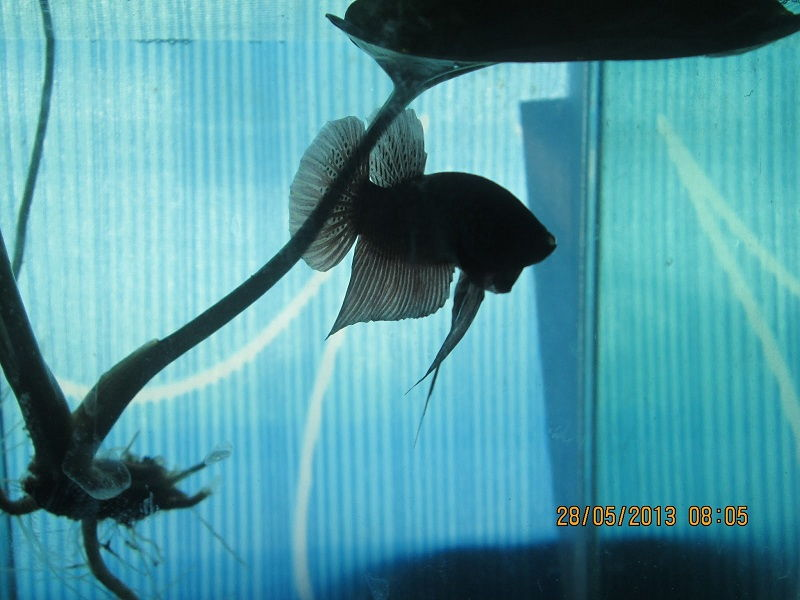 Water Sprite Betta Fish No Longer a Mystery