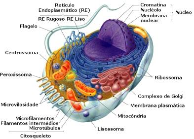 Gráfico de la Célula vegetal para niños