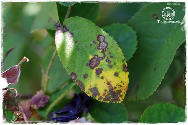 Sternrußtau an Rosen - Bist du noch zu retten? 100 Gartenproblemen auf die Schliche kommen - Gartenblog Topfgartenwelt