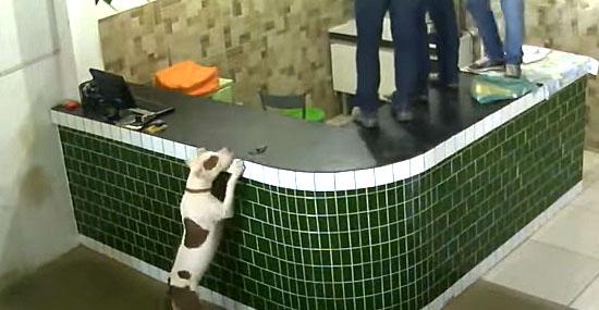 Pitbull invade loja em Rondônia e causa pânico, mas ele não queria atacar ninguém