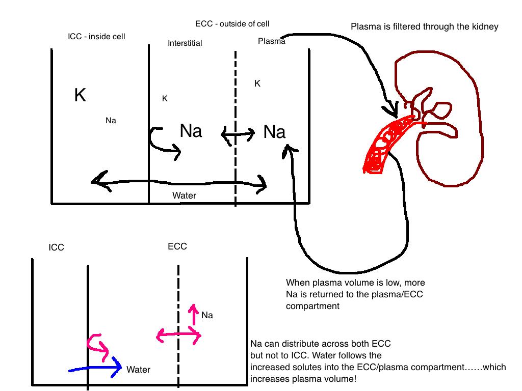 Boots and Saddles: Acid Base Balance Part 2: Sodium and