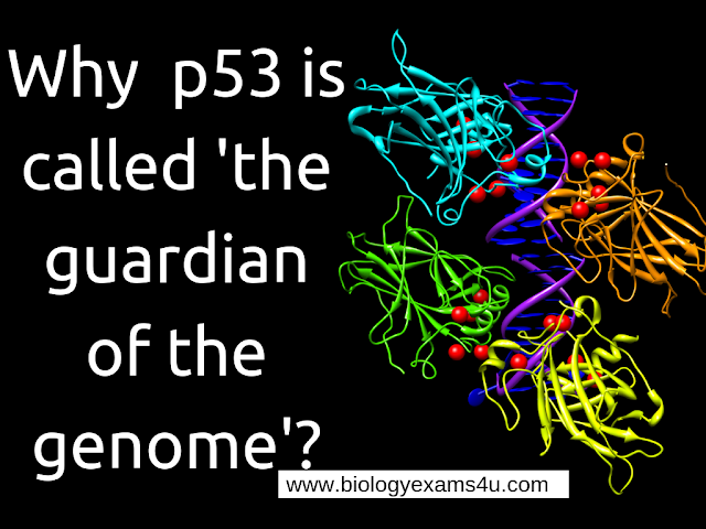 Why p53 is called  guardian of the genome?