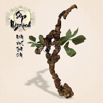 Sâm Ngọc Linh là loài sâm quý hiếm bậc nhất trên thế giới