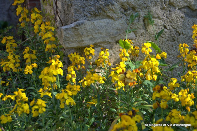 Fleurs, Giroflée des murailles.