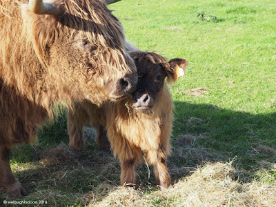 Scottish Longhorn Mother and Calf Heligan
