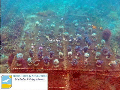 replanting terumbu karang