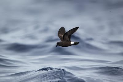Madeiran storm-petrel, Madeira - S.Colenutt, The Deskbund Birder