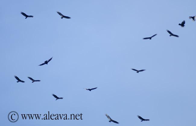 El Jote ave de Península Valdés