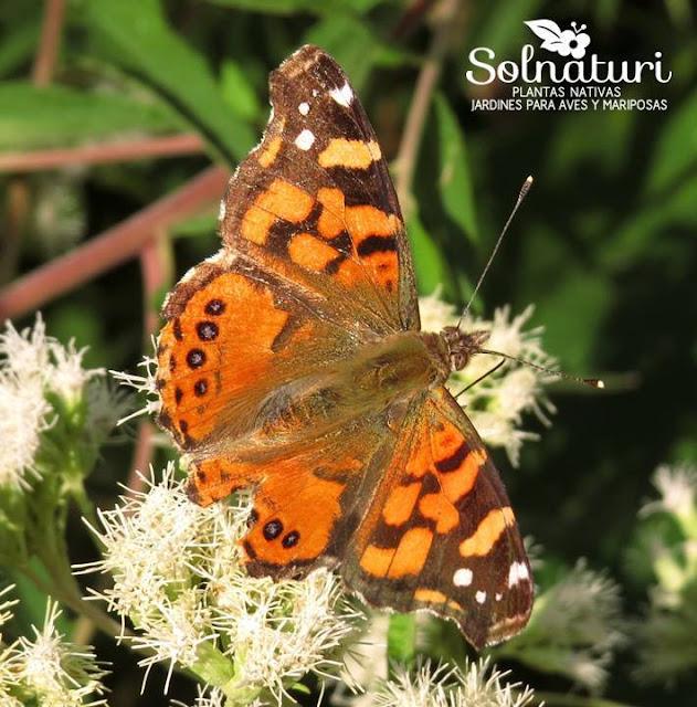 Vanessa carye  Dama cuatro ojos  mariposa que ovipone en Sphaeralcea bonariensis