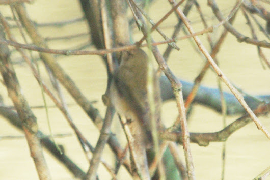 HEMEL NATURE - Birds, Wildlife & Nature in Hemel Hempstead, Hertfordshire.: Another photo of Probable SIBERIAN CHIFFCHAFF at Kings Langley
